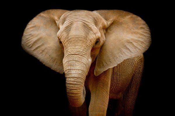 Elephant Black Background