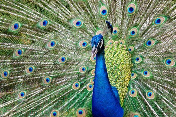 Peacock Rais his Feather