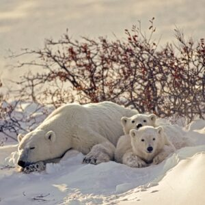 Polor Bear with her Cubs