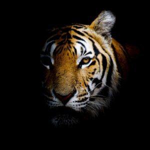 Half-Tiger