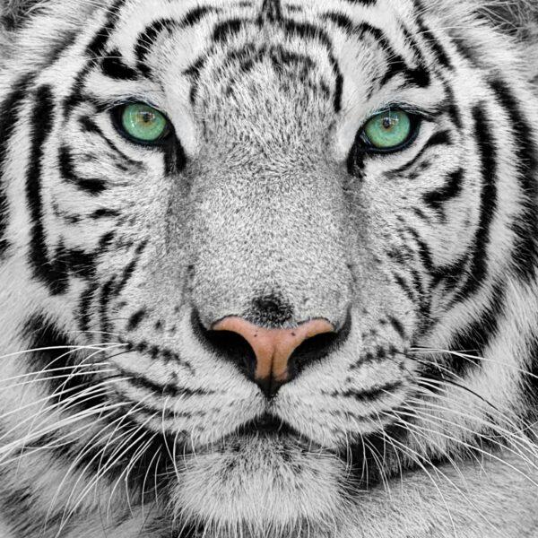 Tiger Green Eyes