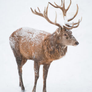 Snow Red Deer