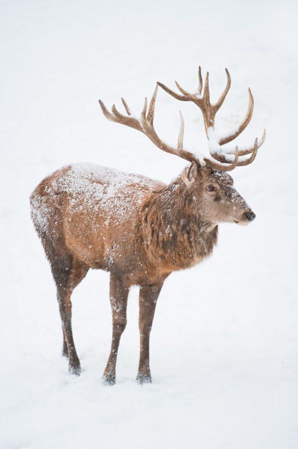 Snow Red Deer