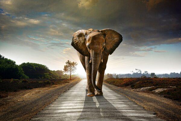 Savannah Elephant