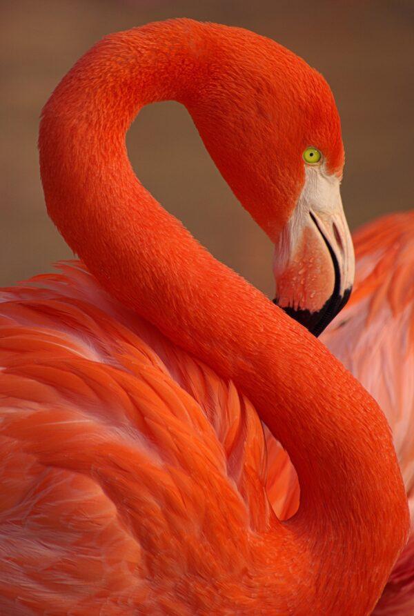 Close Up Flamingo