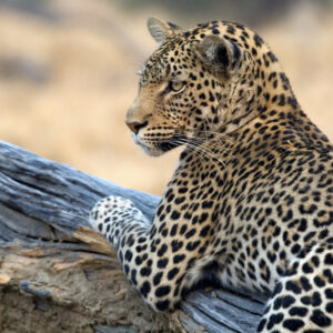 Staring Leopard