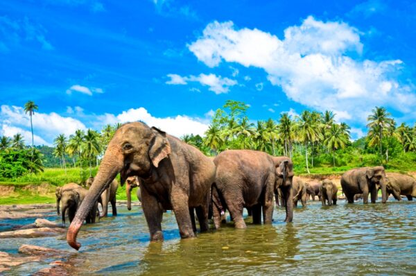 Elephants Group in the Water