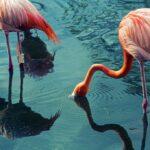 Drinking Flamingos