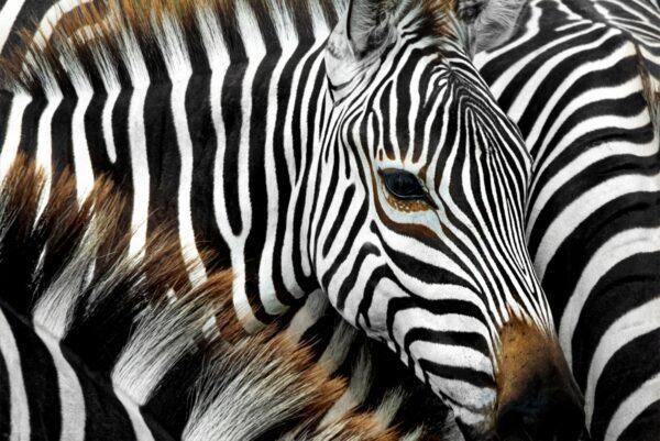Group Zebras